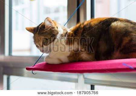 Three Colored Domestic Cat Sleeping On A Red Pillow In Front Of The Window