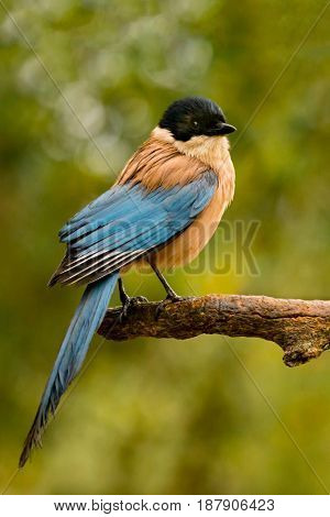 Small nice bird with black head and blue tail on a branch with a beautifgul green of background