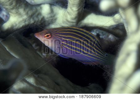 A Six Line Wrasse, (Pseudocheilinus hexatina) hiding in coral branches at the Kwajalein Atoll in the Pacific