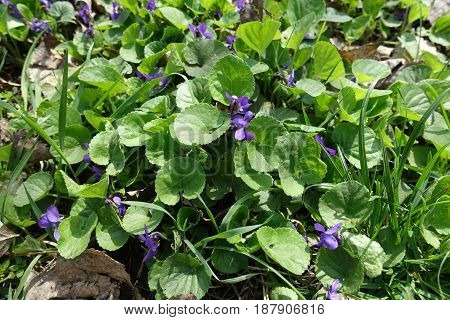 Small Violet Flowers Of Dog Violet In The Grass