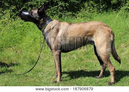Belgian shepherd malinois dog with muzzle armored