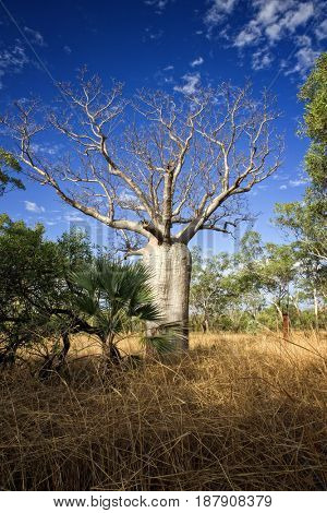 Baobab at the Kimberley - Western Australia