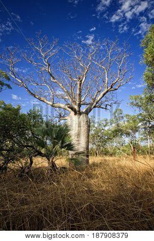 Baobab at the Kimberley - Western Australia
