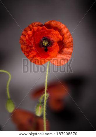 Poppy Flowers, Poppy, Motley Poppy Flowers