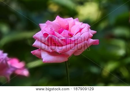 Pink rose blooming. Blurred green as background