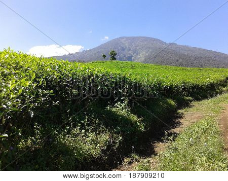Expanse of tea gardens on the slopes of Mount Kawi. 2015 May, 17