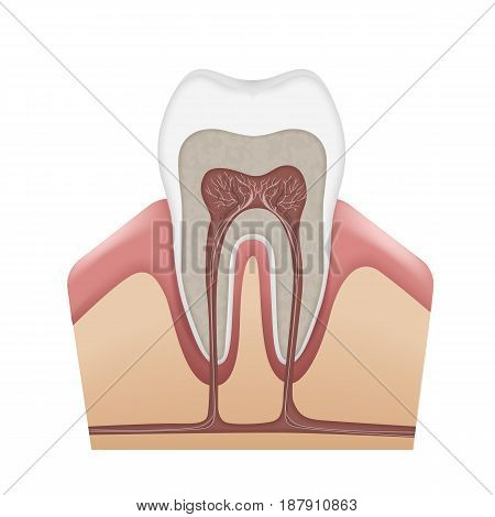 Vector human tooth anatomy enamel, dentin, pulp, gums, bone, cementum, root canals, nerves and blood vessels isolated on white background poster
