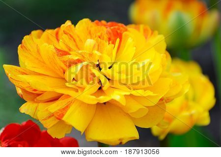 Multilobed, Terry  Yellow And Orange Tulip In A Spring Garden.