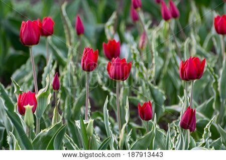 There Are Many Red Tulips In The Spring Garden.