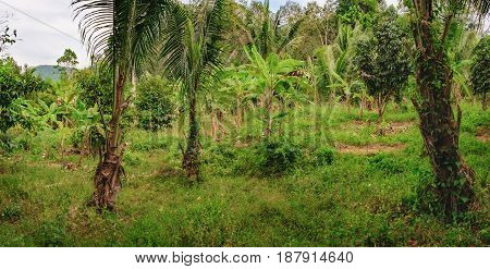 Dense tropical vegetation under the blue sky Mu Koh Chang National Park, Chang island, Thailand. Musa acuminata popular banana trees and other palms in the foreground