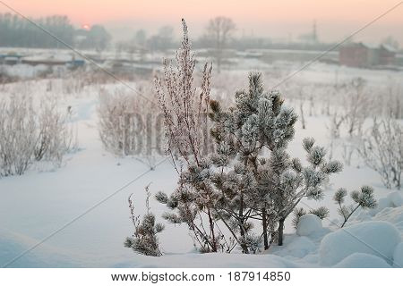 Winter, morning. Sunrise. In the frame is a small pine. Snow and frost on the branches. Kemerovo, Siberia, Russia.