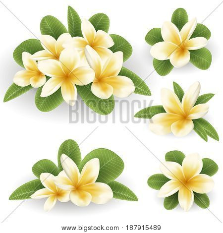 White and yellow Plumeria Flowers in realistic style on white background. Vector Illustration set. Tropical flowering plants collection. Flowers and leafs of Plumeria in real style.