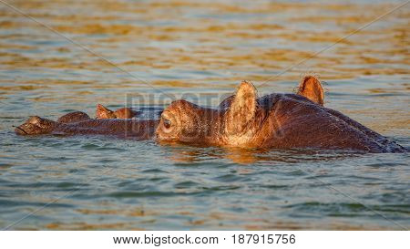 Closeup of Hippo mom and baby head in water stick out of river wet