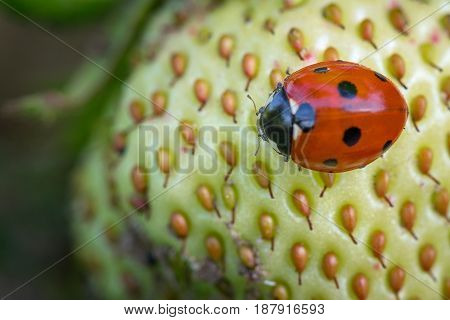 Springtime. Macro shot of a lady beetle sitting on a strawberry.