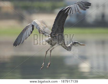 Grey Heron In Flight Over River