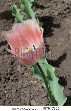 Single Subdued Pink Flower Of Tulip In Spring