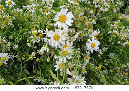 Fresh picked organic chamomile bunches displayed for market
