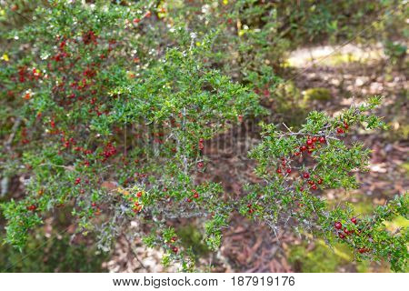Soft focus of Mountain Currant, shiny red berry fruit on Coprosma nitida in Tasmania. Itâ??s endemic to Australia.