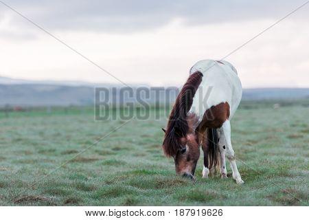 Icelandic horse portrait close up