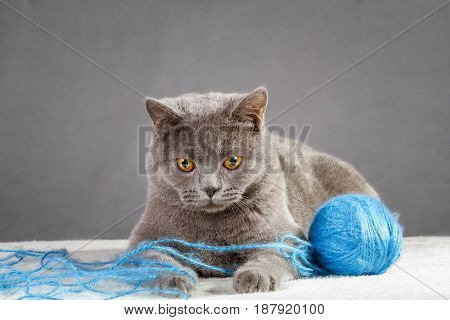 British Blue cat playing with ball of yarn.