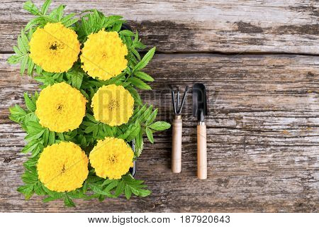 Seedlings of marigold flowers on a wooden background