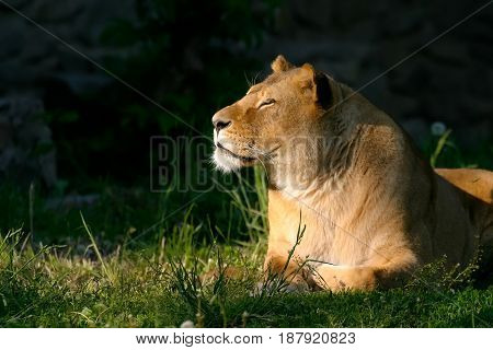 An adult lion. The lioness lies on the green grass and looks to the left. Eyes are covered. Dark background.
