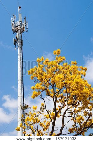 A primavera tree in in brilliant yellow blossom side by side with communication tower
