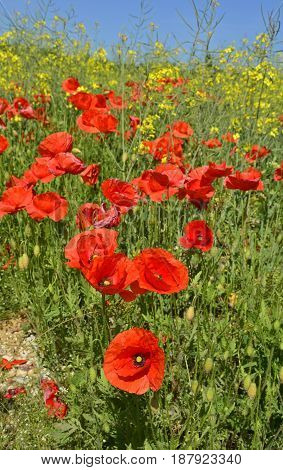 Wild red poppies growing in a field of rapeseed in May in Friuli Venezia Giulia north east Italy