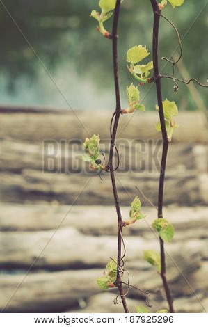 Young branches of a vine on the background of old logs and a lake