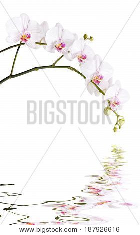 Long branch of white orchids phalaenopsis isolated on a white background reflected in the water surface with small waves