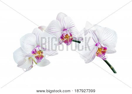 white orchid phalaenopsis on a white background
