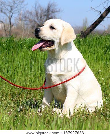 The Yellow Happy Labrador Puppy In Garden