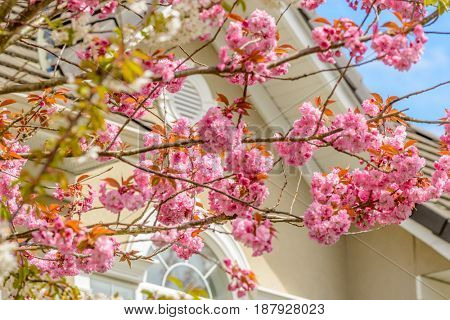 Cherry blossom, sakura flowers.