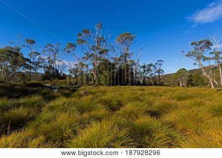 Yellow green shade of Buttongrass moorland and tall gum trees against blue sky at part of Cradle mountain, Lake St Clair National Park. Autumn in Tasmania, Australia