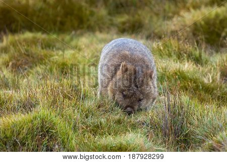 Brown Common Wombat grazing grass for dinner at Cradle mountain, Lake St Clair National Park. Autumn in Tasmania, Australia