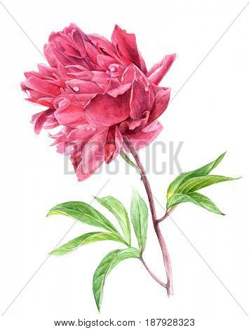 Hand drawn watercolor pink peony flower in vintage style