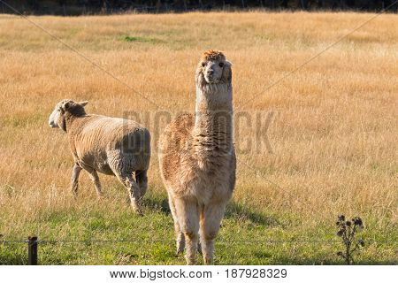 Alpaca, fluffy animal with beige fur that looks like Llama stand next to sheep on grassland meadow behind fence in Tasmania, Australia (Vicugna pacos)