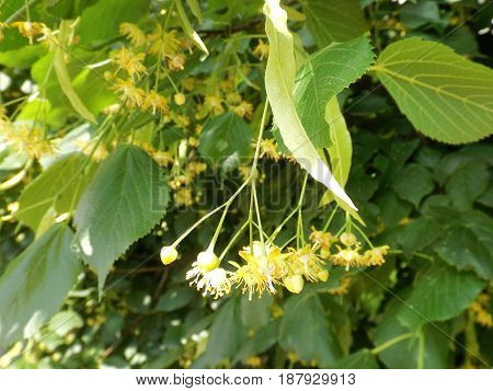 Lime flowers on a tree among the leaves