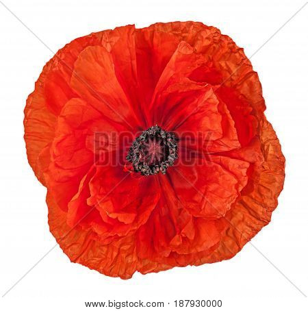Closeup red poppy flower isolated on white background