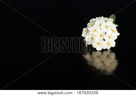 Small white flowers isolated on black background