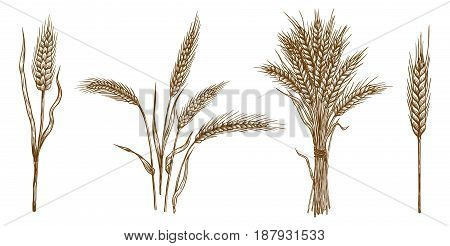 ears of wheat. set of vector sketches on white background