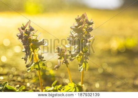 Lilac Wild Flowers.