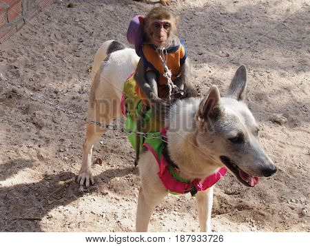 Running dogs with equestrians monkeys prepare for a competition