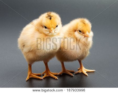 Yellow chickens looking at one black isolated on a background
