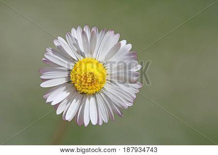 One Isolated Daisy Blossom
