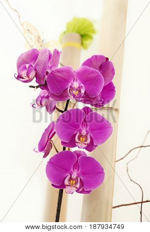Pink Phalaenopsis Orchid And Bamboo Cane