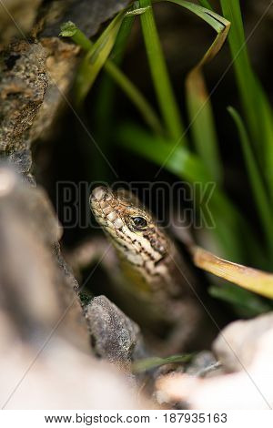 Lizard Reptile Podarcis Siculus
