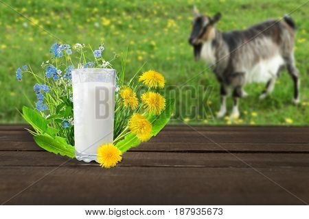 Glass of milk and goat on nature background.