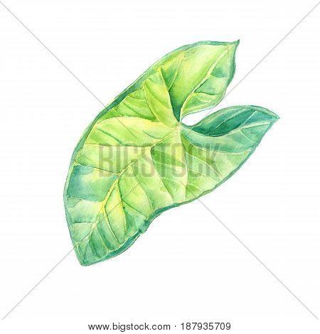 A leaf of a tropical plant. Syngonium aroids is an ampel plant, a liana. Watercolor illustration. Isolated flower.
