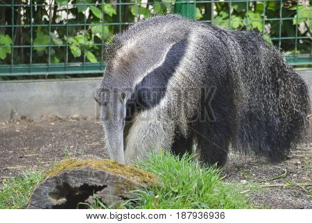 The giant anteater (Myrmecophaga tridactyla) is looking for a food.